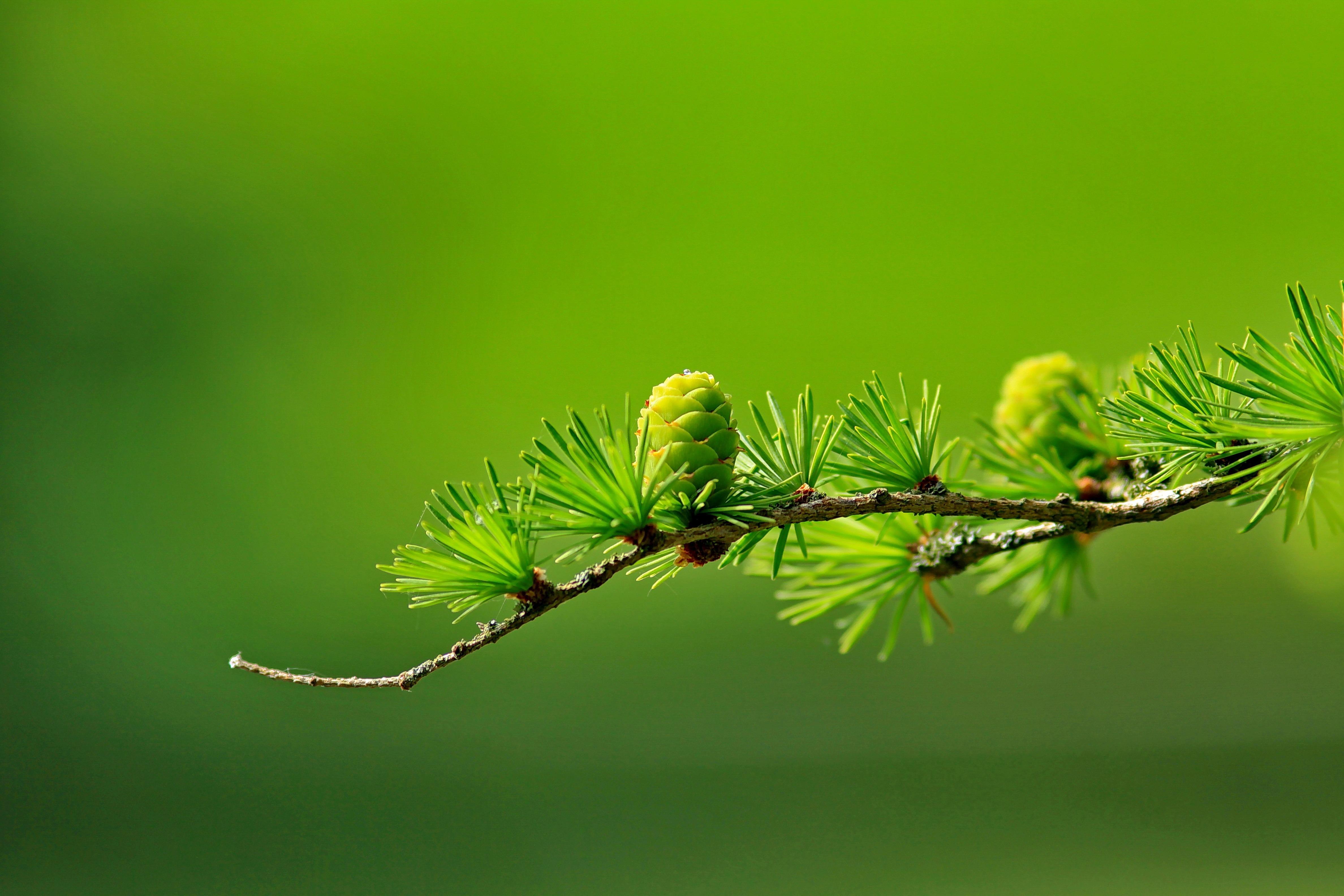 conifer-cone