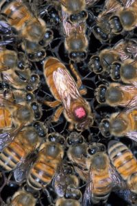 Queen Bee eatsonly royal jelly